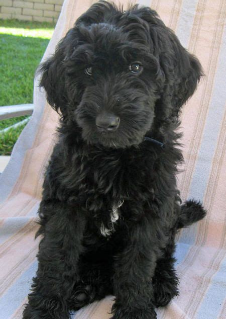 black goldendoodle haircuts labradoodle dogs cute this pup looks like our shadow w