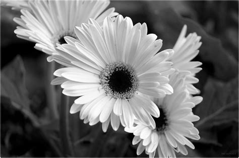 wallpaper black and white flowers black and white images of flowers 12 free wallpaper