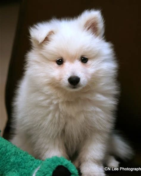 dogs is soft 17 best ideas about japanese spitz on american eskimo puppy american