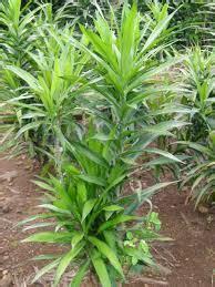 Bibit Sambung Nyawa bibit tanaman floraherbanusantara