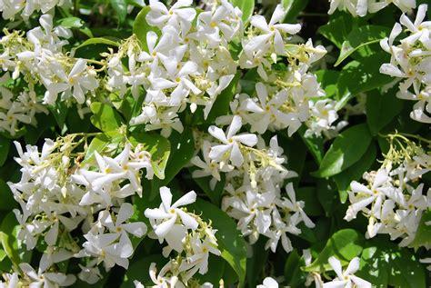 imagenes de flores jasmin fotos de flores la flor del jazmin