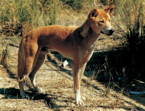 dingo dogs dogs recognising sheep predation department of agriculture and food