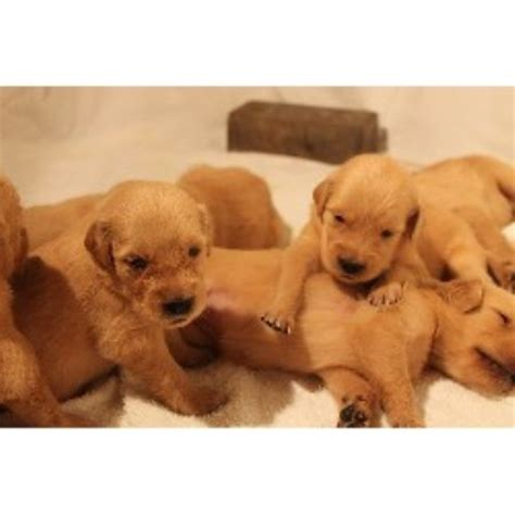 golden retriever puppies boise idaho golden retriever breeder in boise idaho 83713 freedoglistings id 21027