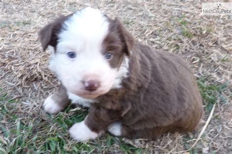 australian shepherd puppies for sale in oklahoma mini australian shepherd puppies for sale in oklahoma breeds picture