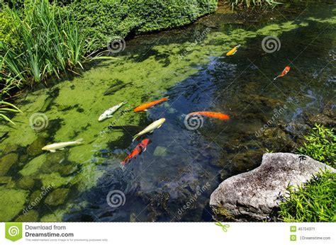 giardino koi koi nel giardino giapponese fotografia stock immagine