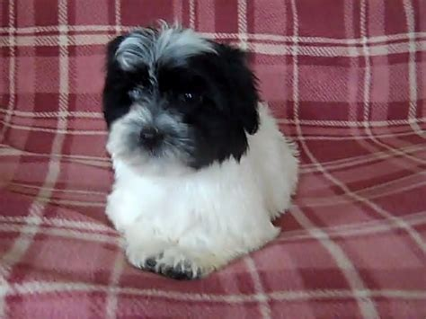 purebred havanese puppies for sale havanese puppies bred boston lincolnshire pets4homes