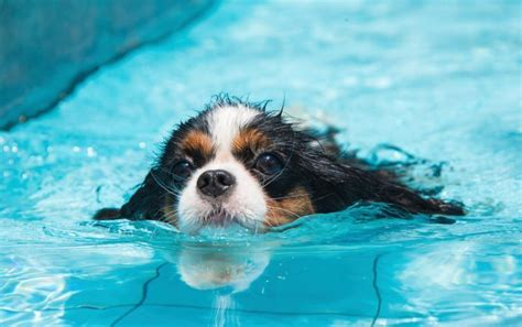 can all dogs swim pools and pet safety tips