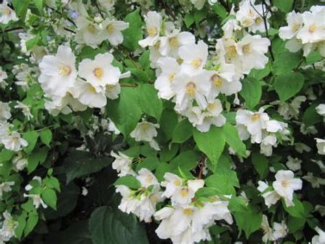 fast growing flowering shrubs uk another favourite is philadelphus etoile a