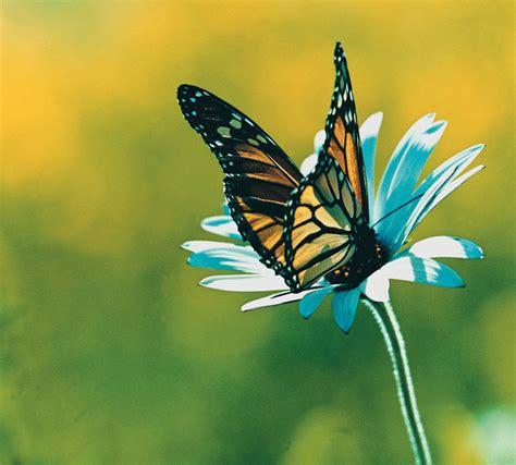foto farfalle e fiori farfalle a rischio di estinzione senza di loro gli alberi
