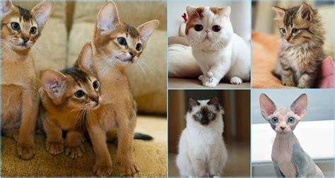 nicest breeds 13 most friendliest cat breeds in the world