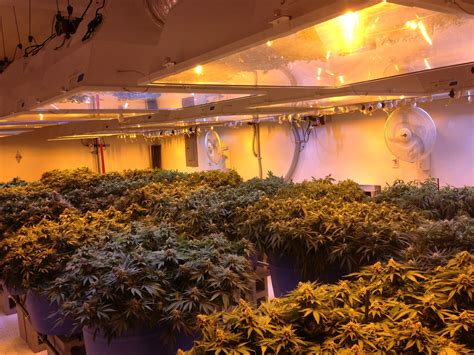 marijuana grow room cannabis growing guide gallery seeds supplies canna consulting
