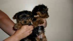 teacup yorkies south africa tiny purebred teacup yorkie puppies johannesburg free classifieds in south africa