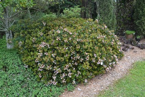 plan carefully with indian hawthorn 187 gardening in the panhandle