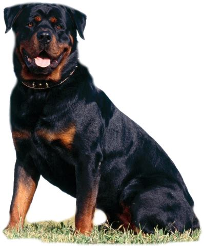 rottweiler cancer pets n more 9 breeds with the highest cancer rate