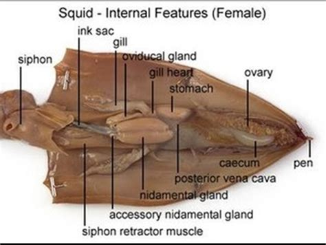 squid dissection lab worksheet ch 27 clam squid lab mrs n nelson s science website