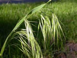 Awns Bromus Tectorum June Grass Downy Chess Cheat Poaceae