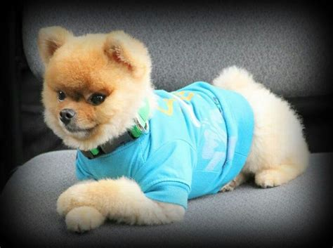 pomeranian clothes dogsinclothes in clothes pomeranian dogs in clothes