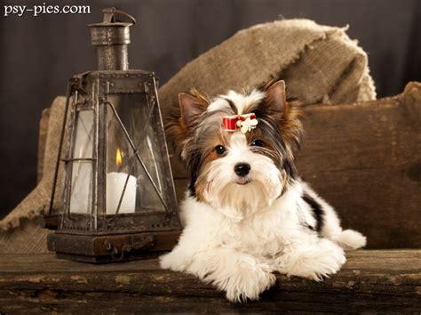 biewer yorkie forums biewer terrier