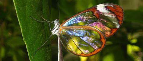 imagenes mariposas mas bonitas mundo mariposa cristal curiosidad