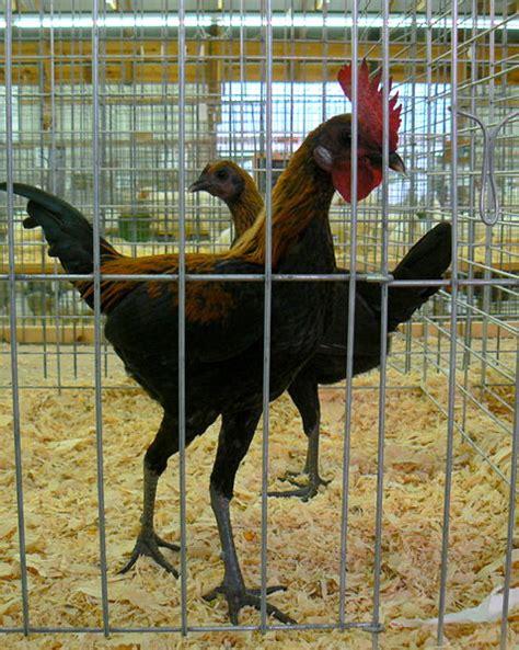 Gamas Moderen chicken breeds