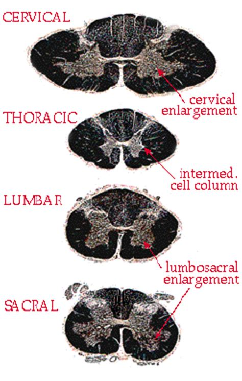 cross section of spinal cord at different levels spinal motor structures