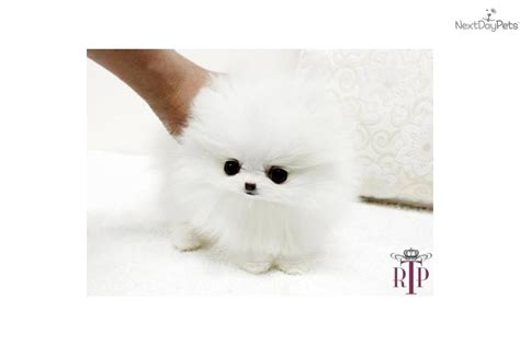 micro teacup white pomeranian micro teacup pomeranians puppies precious micro teacup white