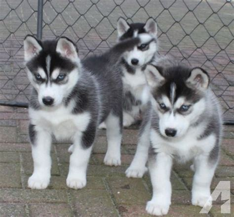 husky puppies for sale los angeles siberian husky puppies available for sale in los angeles california classified