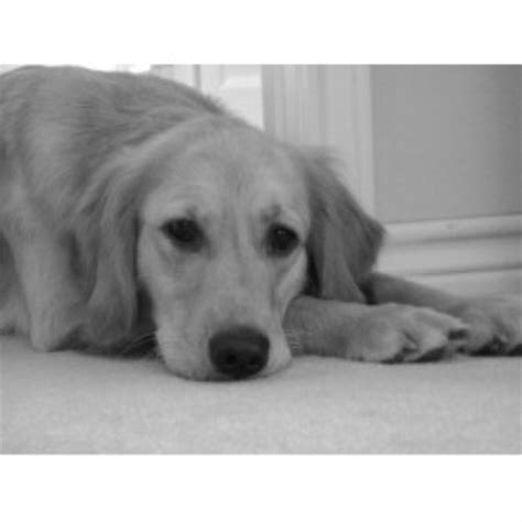 golden retriever breeders dallas tx goldens golden retriever breeder in bullard