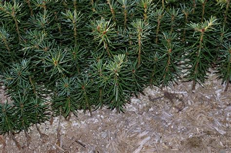 asack son christmas tree farm christmas tree seedlings