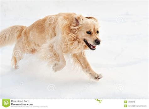 running golden retriever golden retriever running stock photo image 12605810