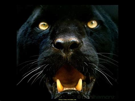 siyah panter jpg 1024 215 768 animals pinterest black