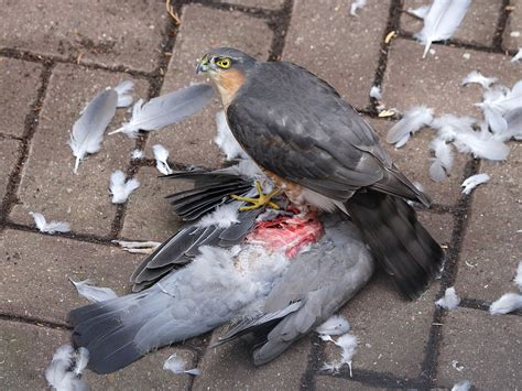 what do sprallow hawks eat pigeon images search