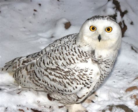 snowy owl blue ridge country