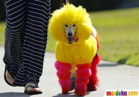 Bola Fitness Warna Warni foto ketika si lucu anjing pudel berdandan warna warni