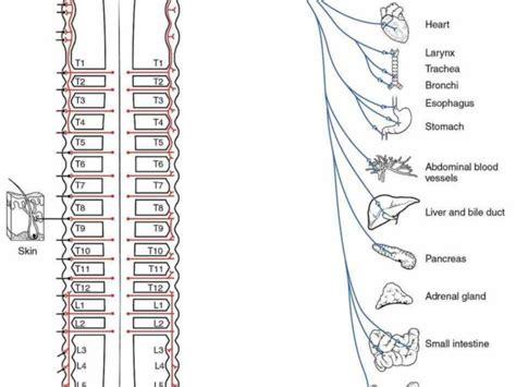 kaplan anatomy coloring book autonomic nervous system autonomic nervous system the lecturer uses pns for