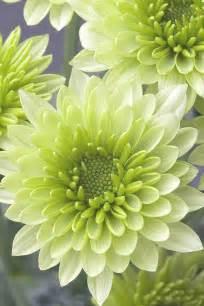 Chrysanthemum by Chrysanthemum Flower Amp Chrysanth 232 Me Pinterest