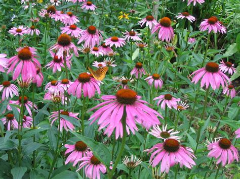 Butterfly Garden Flowers Notes And News From Shady Grove Gardens Bird And Butterfly Plants