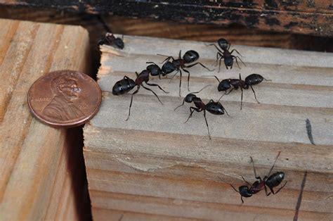 carpenter ant problems pest nyc island