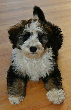 mini bernedoodle puppies 1000 images about mini bernedoodle on bernese mountain dogs minis and