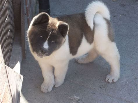 akita puppies for sale in ohio 25 best ideas about akita puppies for sale on american akita akita and
