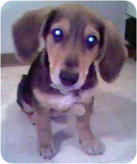 basset hound puppies oregon miley adopted puppy molalla or basset hound german shepherd mix