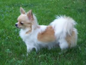 Hair chihuahua puppies long haired chihuahua puppies for sale