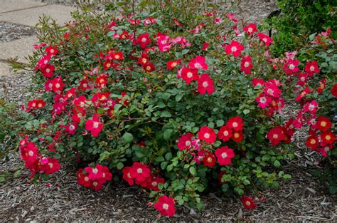 rosa meiboulka oso easy 174 cherry pie shrub rose
