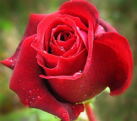 imagenes de rosas unicas صور ورد جوري جديدة 2017 اجمل الورود بكل الالوان احمر