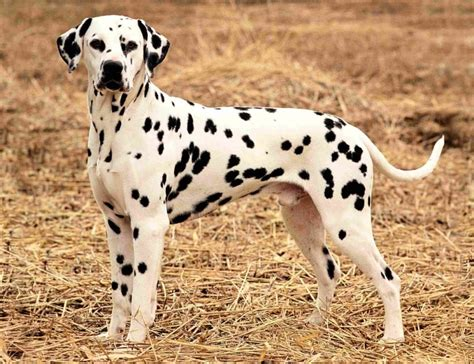 dalmatian dogs dalmatian breed guide learn about the dalmatian