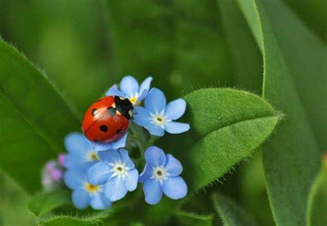 Blume Vergiss Mein Nicht 3822 by Feenstadl Die Blaue Schatzblume 184 Vergissmeinnicht