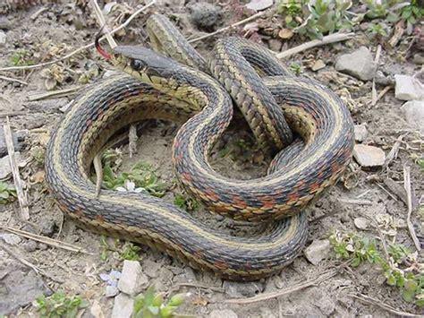 Garter Snake Snakes Eastern Garter Snake