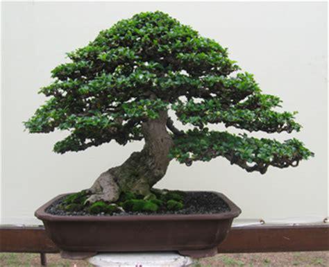 Jual Bakalan Bonsai Di Malang bonsai di indonesia