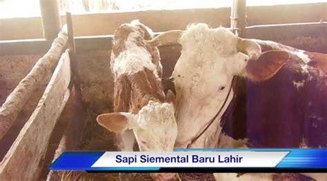 Bibit Sapi Payakumbuh sapi siemental baru lahir sapibagus
