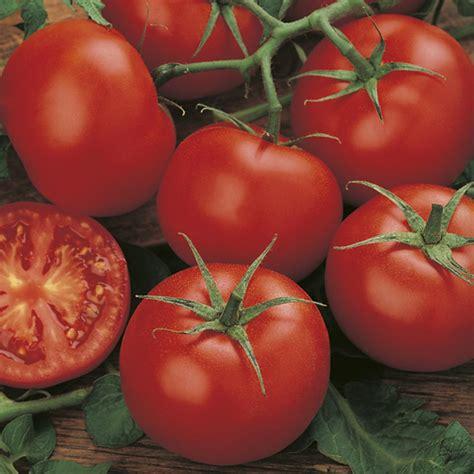 plug plant tomato moneymaker cm pot veg vegetables